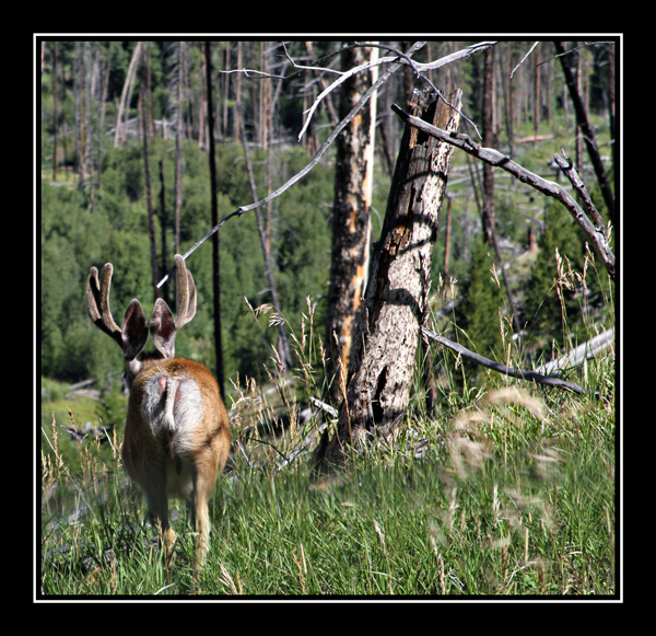 white tail buck walking through forrest at yellowstone national park
