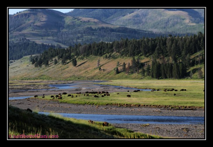 herd of buffalo grazing in a valley at yellowstone national park