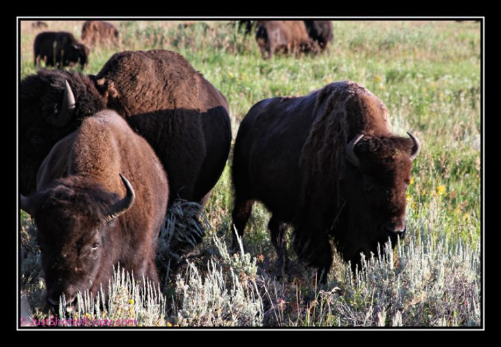 up close photo of buffalo grazing at yellowstone national park