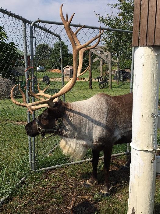reindeer encounter