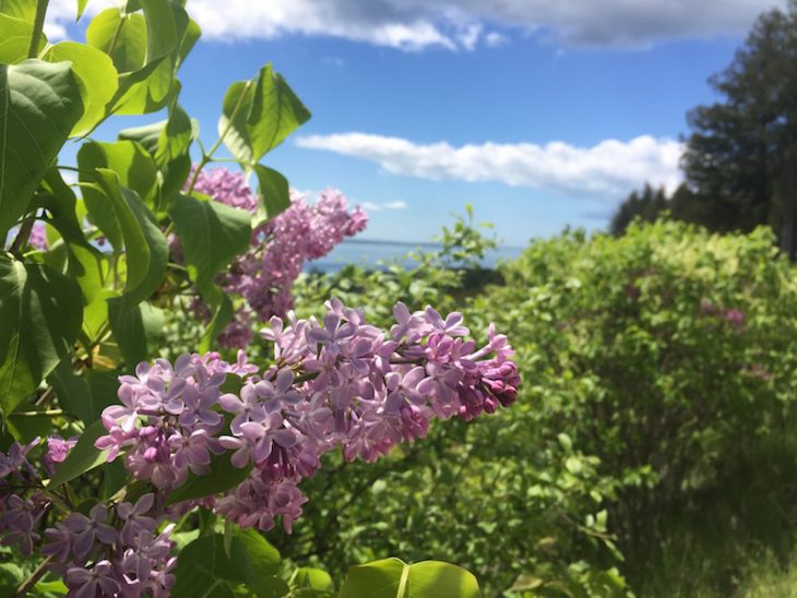 lilacs in bloom on Mackinac Island
