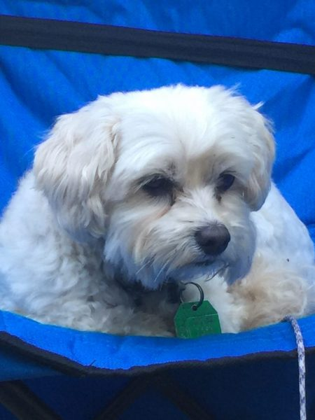 adorable cream colored multipoo puppy laying in a blue outdoor chair