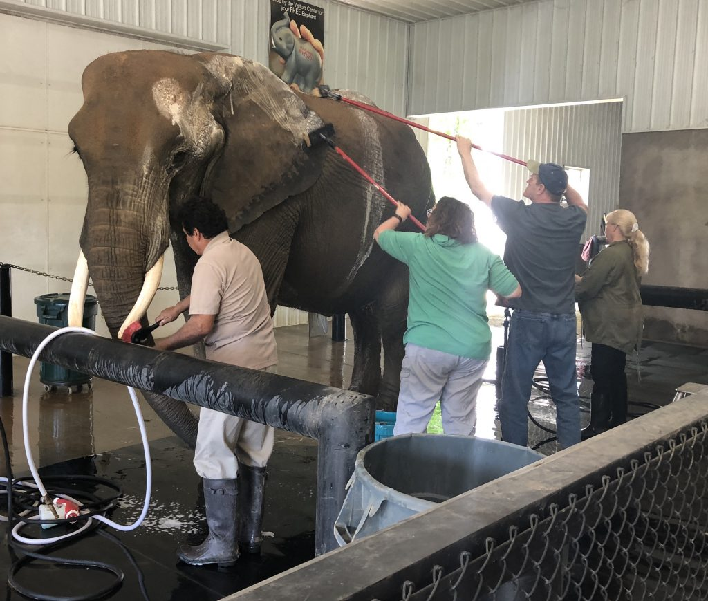 Wash Elephant Wilstem Ranch knee pain