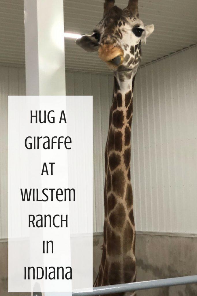 Hug a Giraffe At Wilstem Ranch