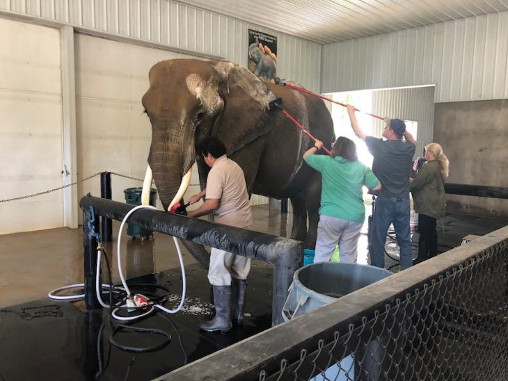 Purring elephants at Wilstem Ranch