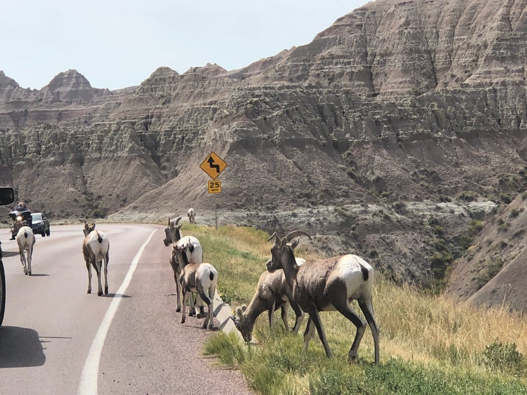 bighorn sheep traffic jam in the badlands national park