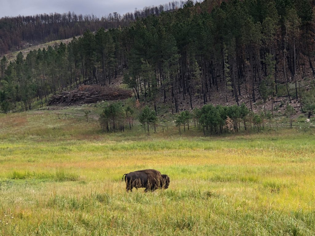lone buffalo at custer state park grazing in a field