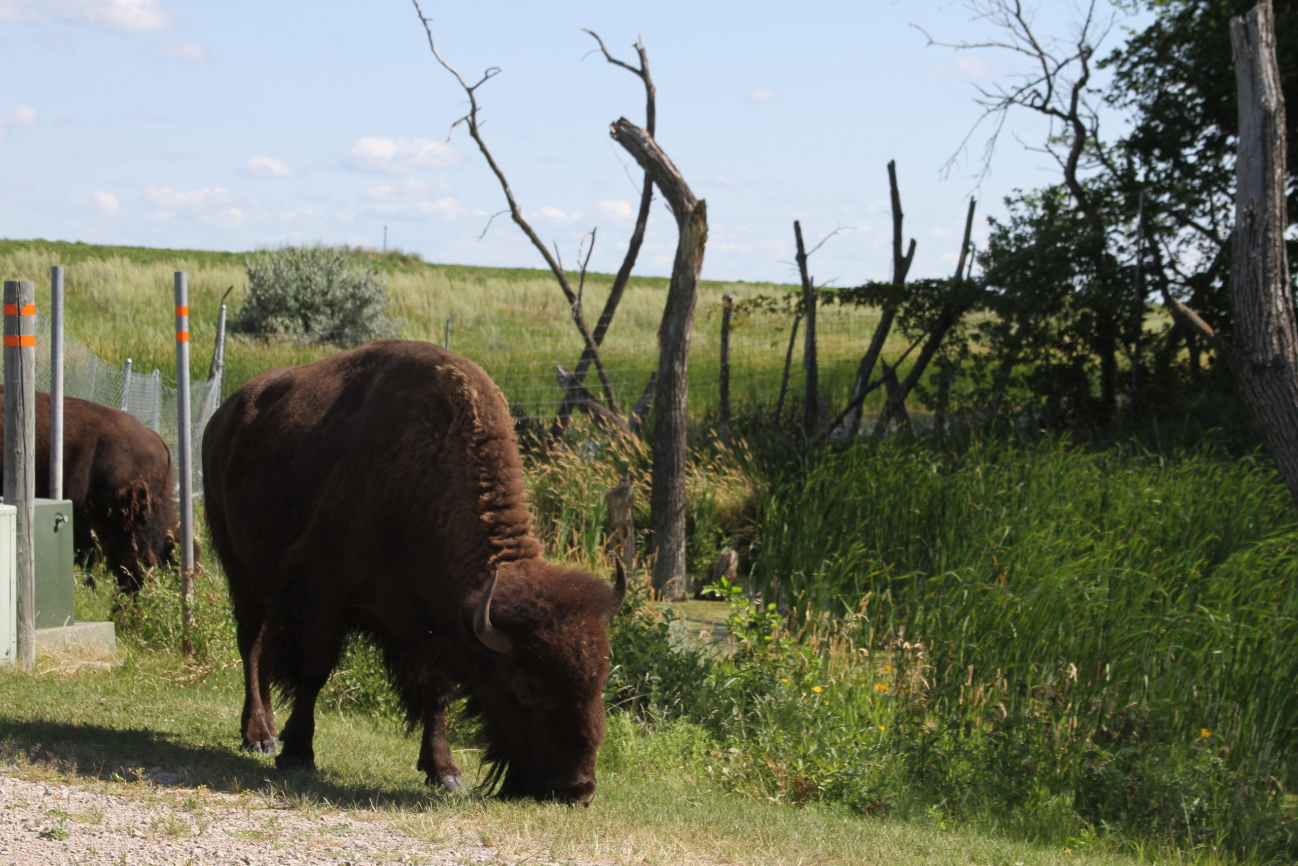 Buffalo at White Horse Hill National Game Refuge