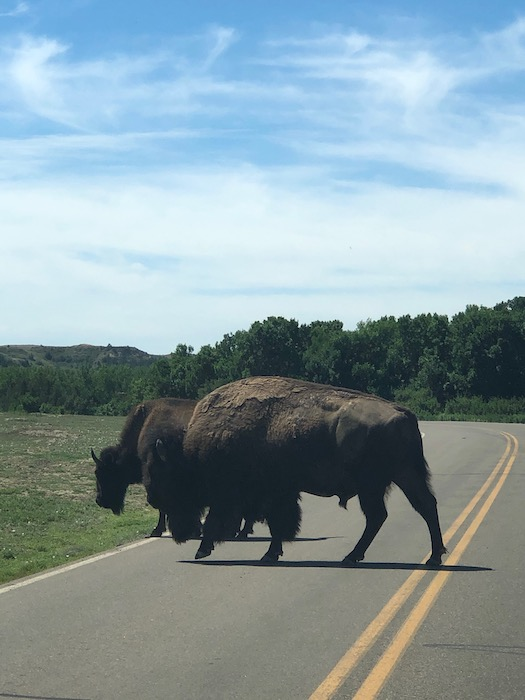 two buffalo standing in the road