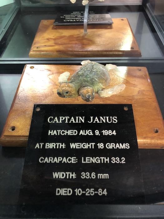 Captain janus Two Headed Turtle