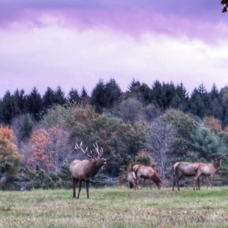 Elk of Clearfield County PA