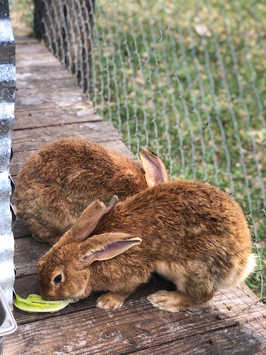 fluffy bunnies at gator country