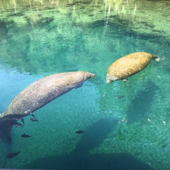 Homosassa Springs Manatees