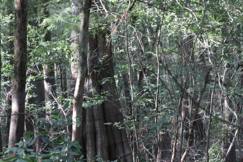 Owl At Cypress Swamp