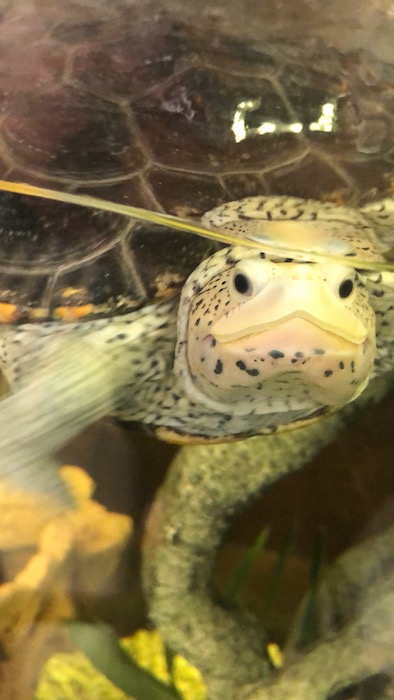 forgotten coast sea turtles