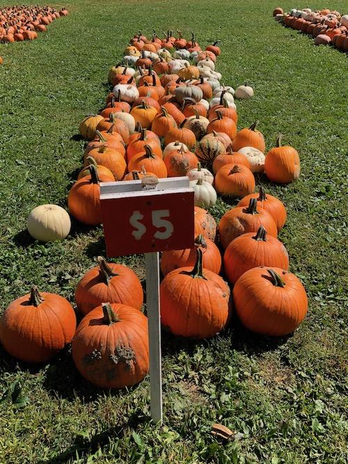 Fall family fun picking pumpkins at pumpkinville in western ny
