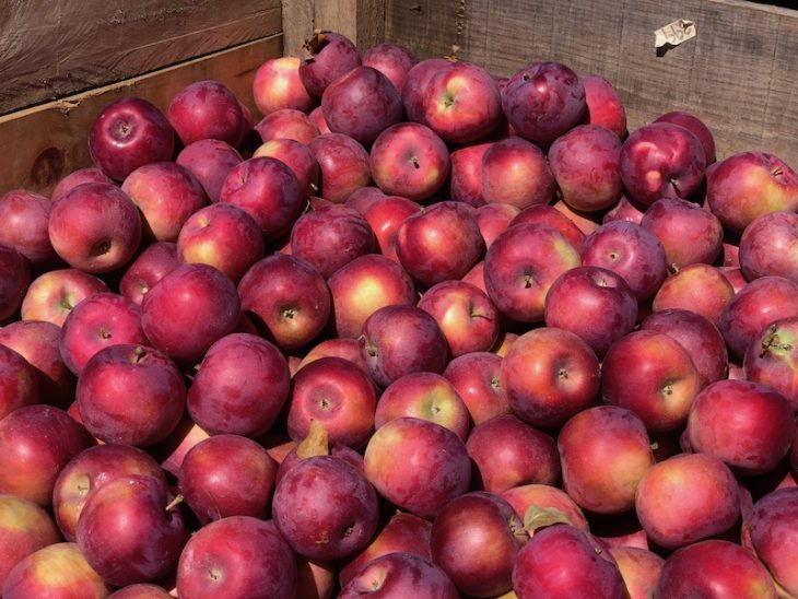 bushels of apples at pumpkinville in western ny
