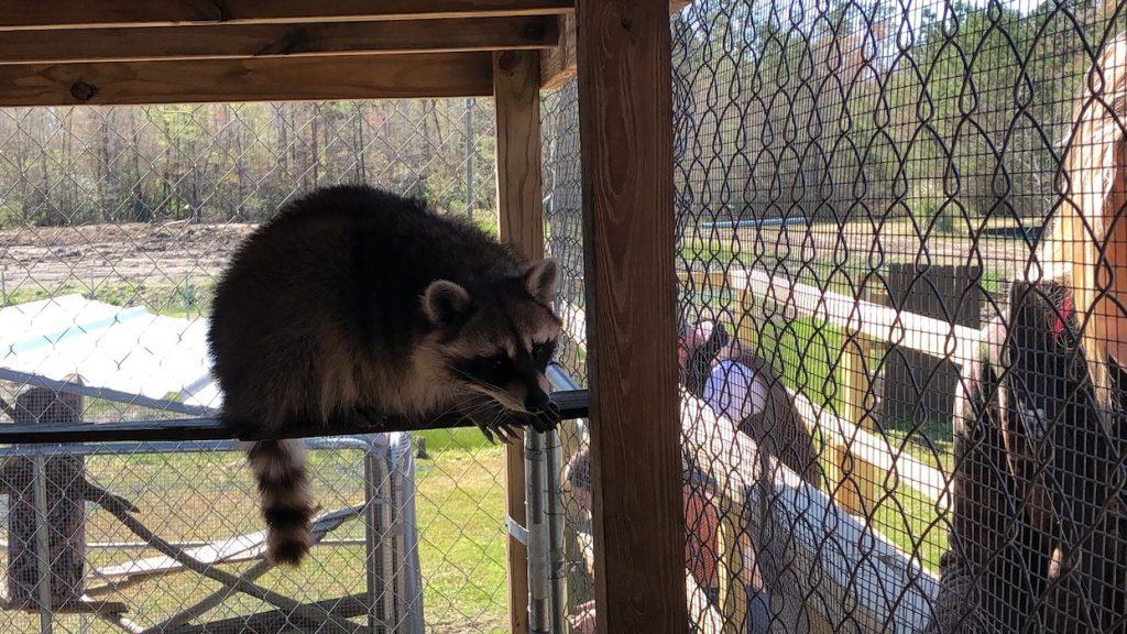 trash panda at gator country
