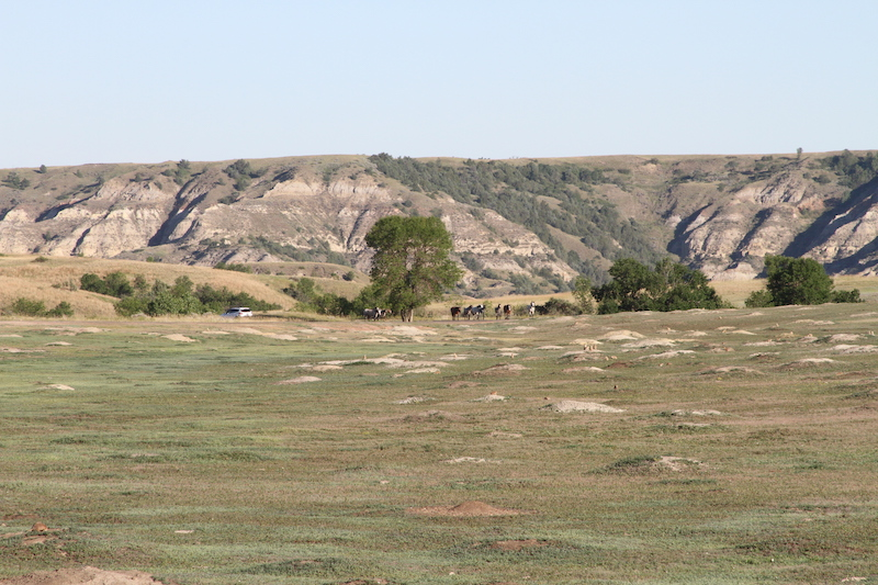 Prairie Dog Town in Theodore Roosevelt National Park with a herd of wild horses in the back ground