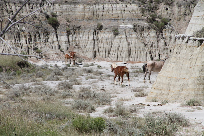 Wild horses in a canyon at theodore roosevelt national park