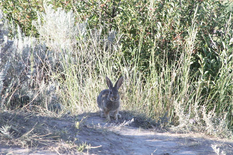 rabbit in the tall grass at theodore roosevelt national park
