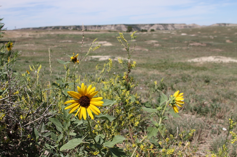Yellow wildflowers up close with scenic landscape behind at Theodore Roosevelt National Park