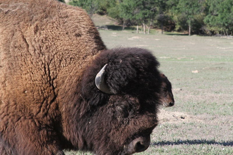 Up close of a buffalo at Theodore Roosevelt National Park