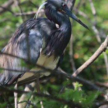 birding in SW Louisiana