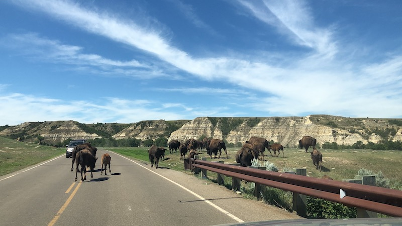 Herd of buffalo in and along the road at theodore roosevelt national park