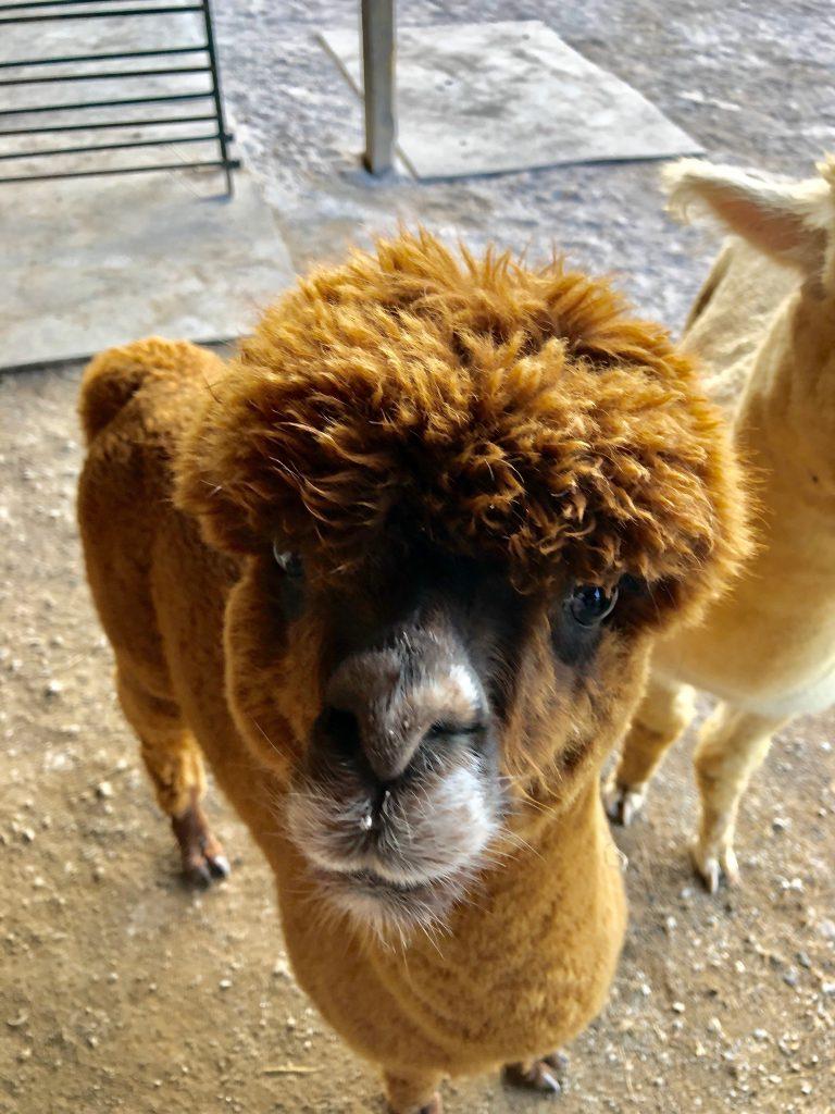 butler county alpaca
