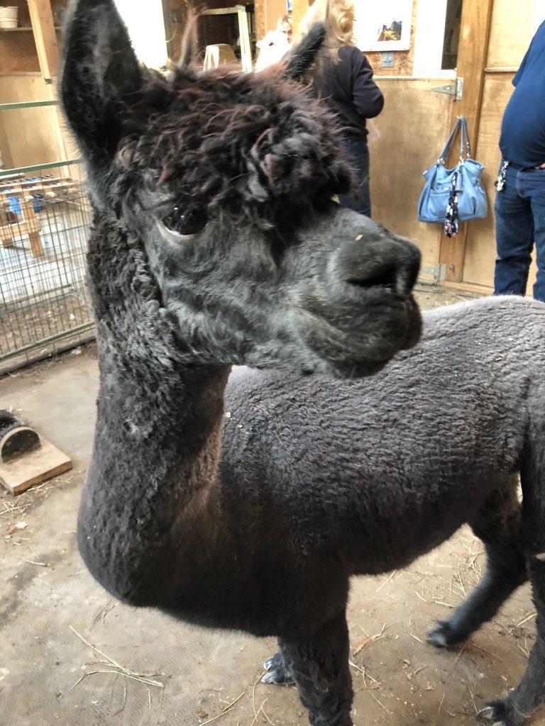 west park alpaca