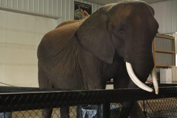 elephant wilstem