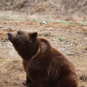 grizzly bear experience wilstem