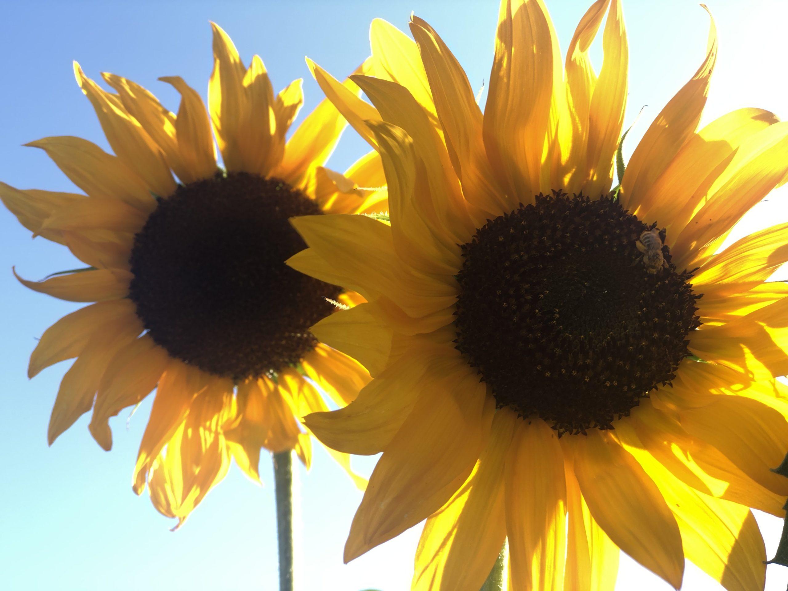 SUnflowers in the sun