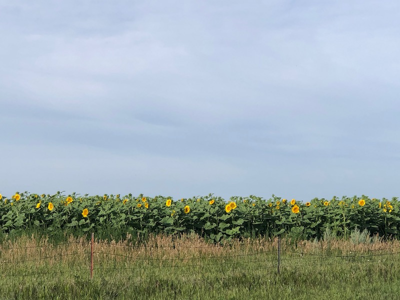 sunflowersND